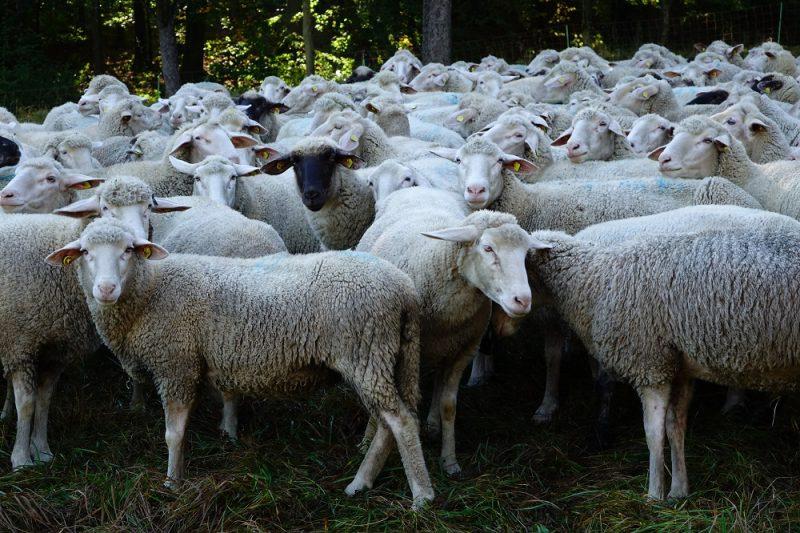 Akademie für Natur und Umwelt, Schafe der Familie Schuhmacher im Jagsttal